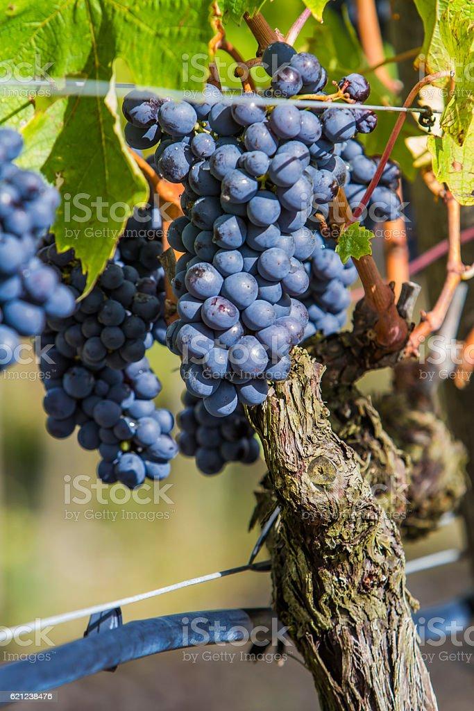 Sangiovese grapes in the Montalcino region of Tuscany stock photo