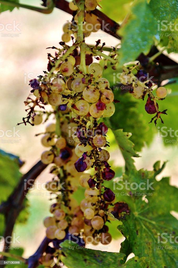 Sangiovese Grapes stock photo