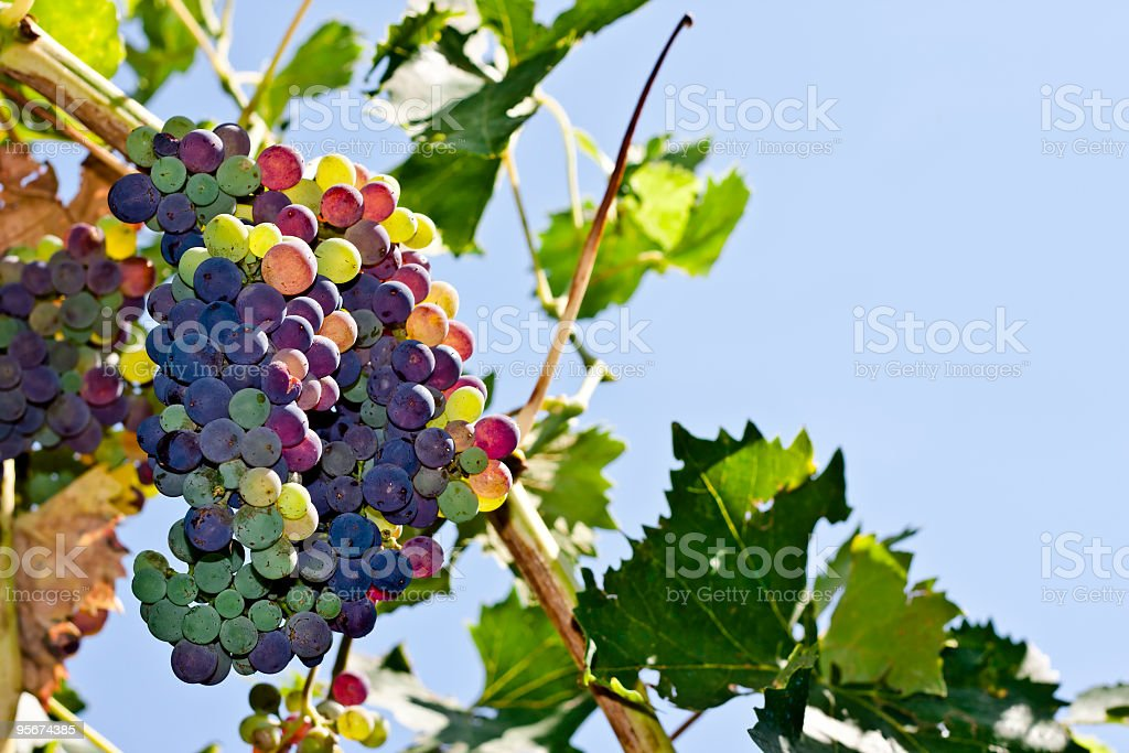 Sangiovese Wine Grapes, Chianti Region in Tuscany stock photo