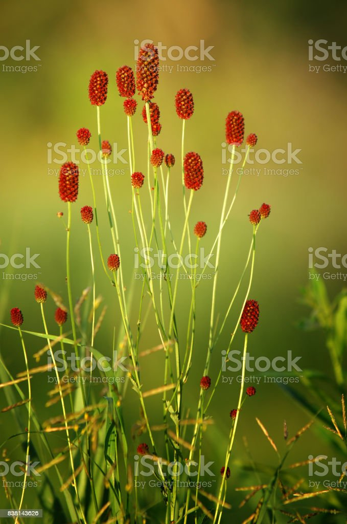 Sanguisorba officinalis. great burnet. stock photo