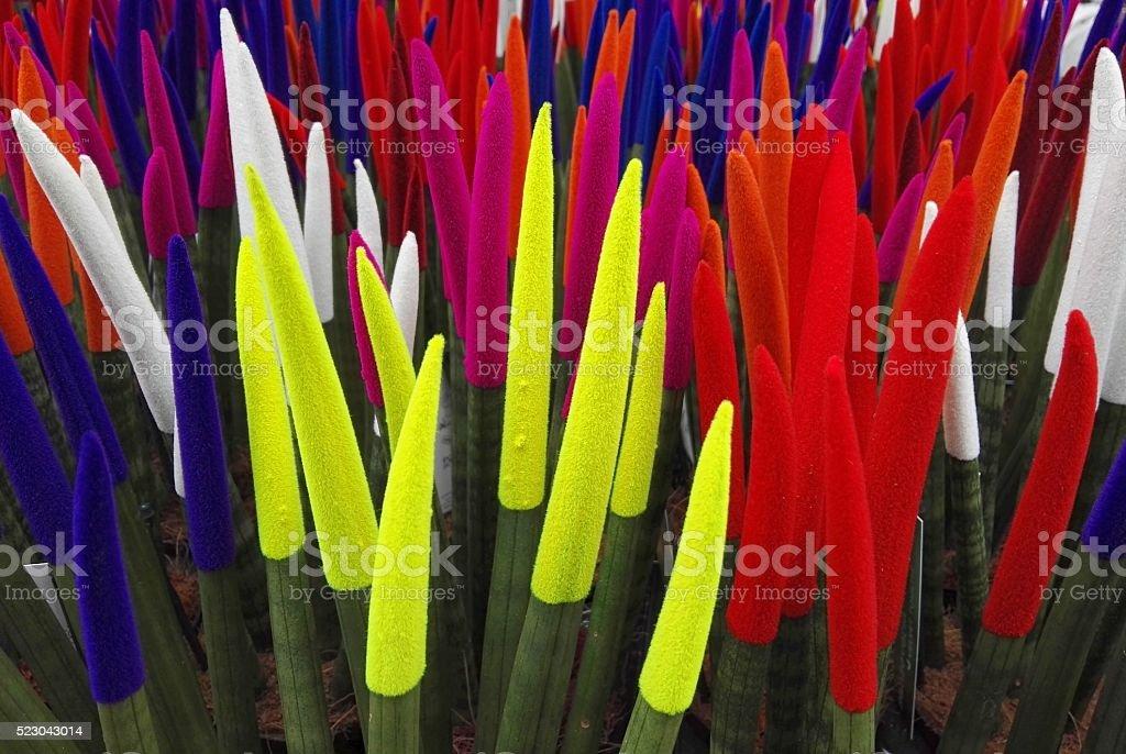 Sanseveria cylindrica stock photo