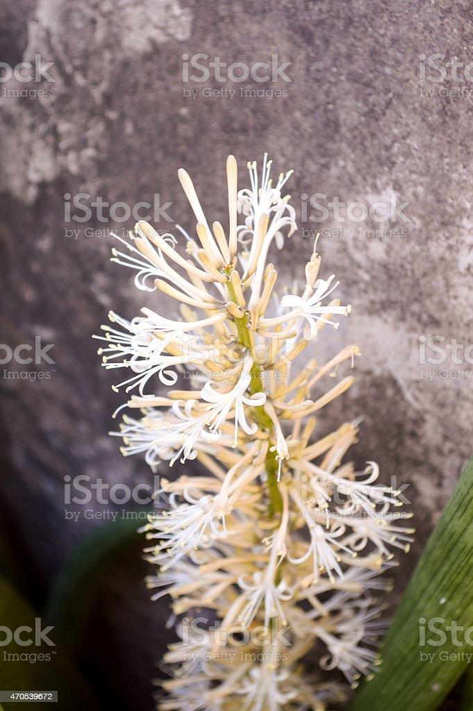 Sansevieria cylindrica Bojer flower stock photo