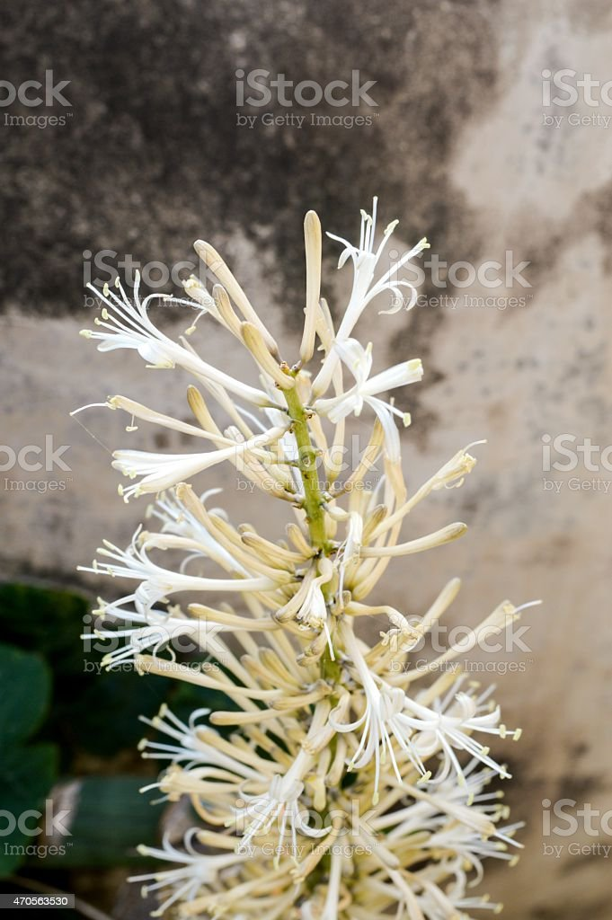Sansevieria cylindrica Bojer flower stock photo
