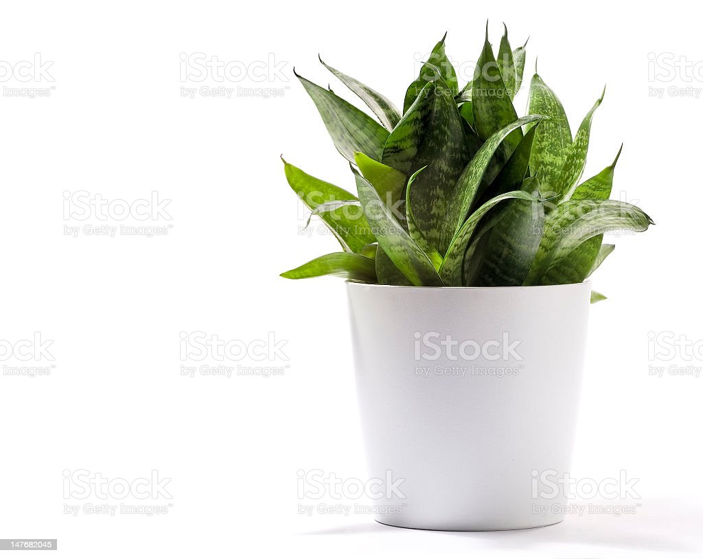Sansevieria house plant in a white pot on a white background stock photo