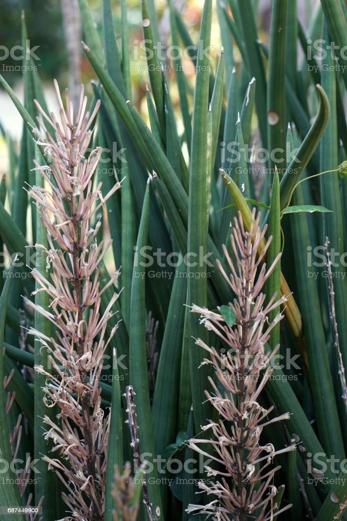 Sansevieria stuckyi plant stock photo