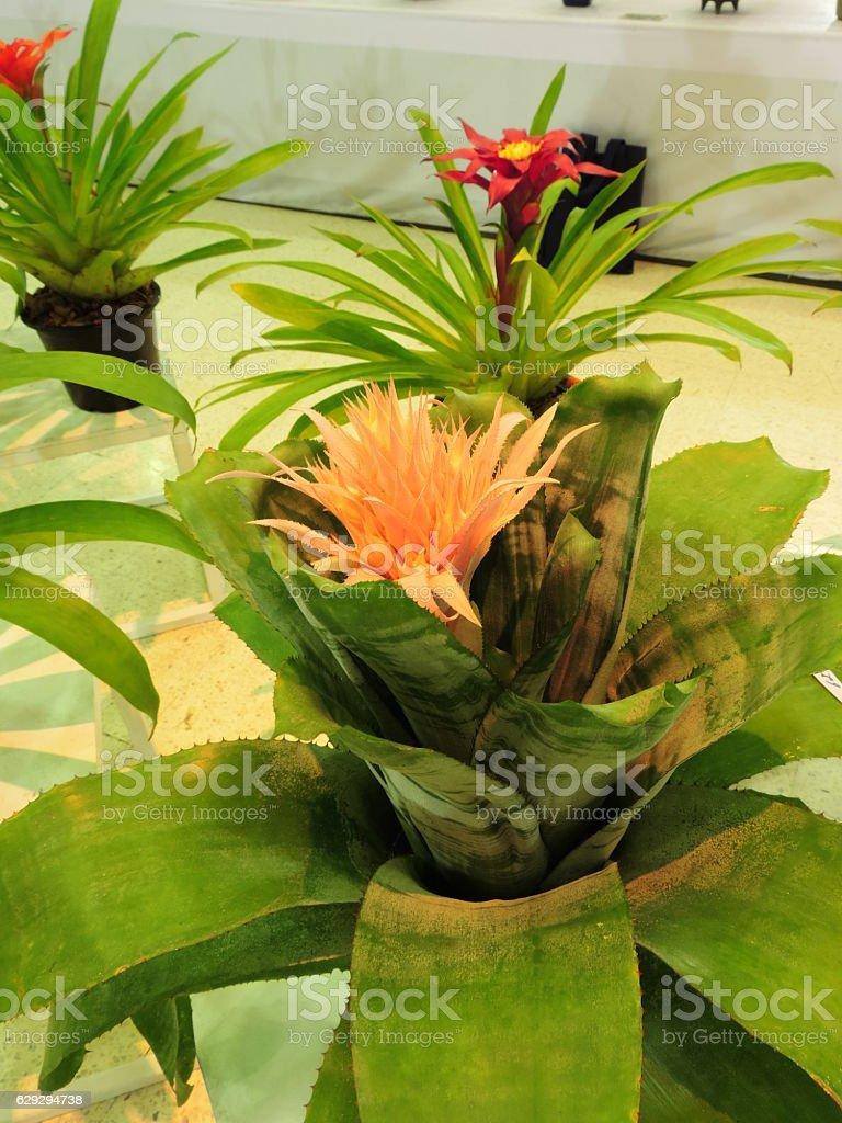 Sansevieria trifasciata stock photo