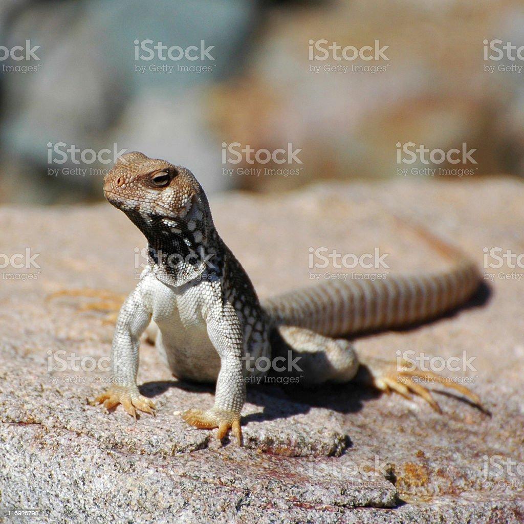 Santa Catalina desert iguana, Dipsosaurus catalinensis royalty-free stock photo