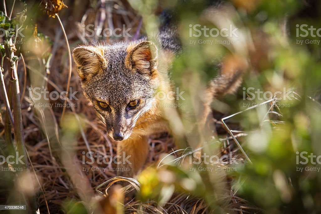 Santa Cruz Island fox (Urocyon littoralis santacruzae) in tall grass royalty-free stock photo
