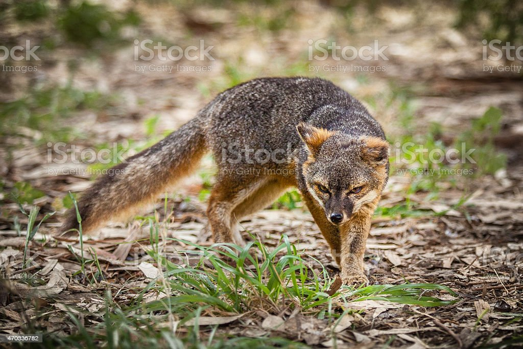 Santa Cruz Island fox (Urocyon littoralis santacruzae) royalty-free stock photo