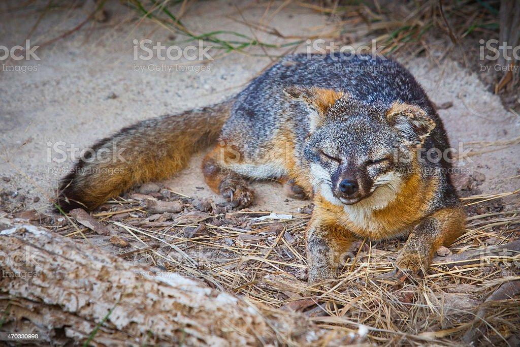 Santa Cruz Island fox (Urocyon littoralis santacruzae) resting royalty-free stock photo