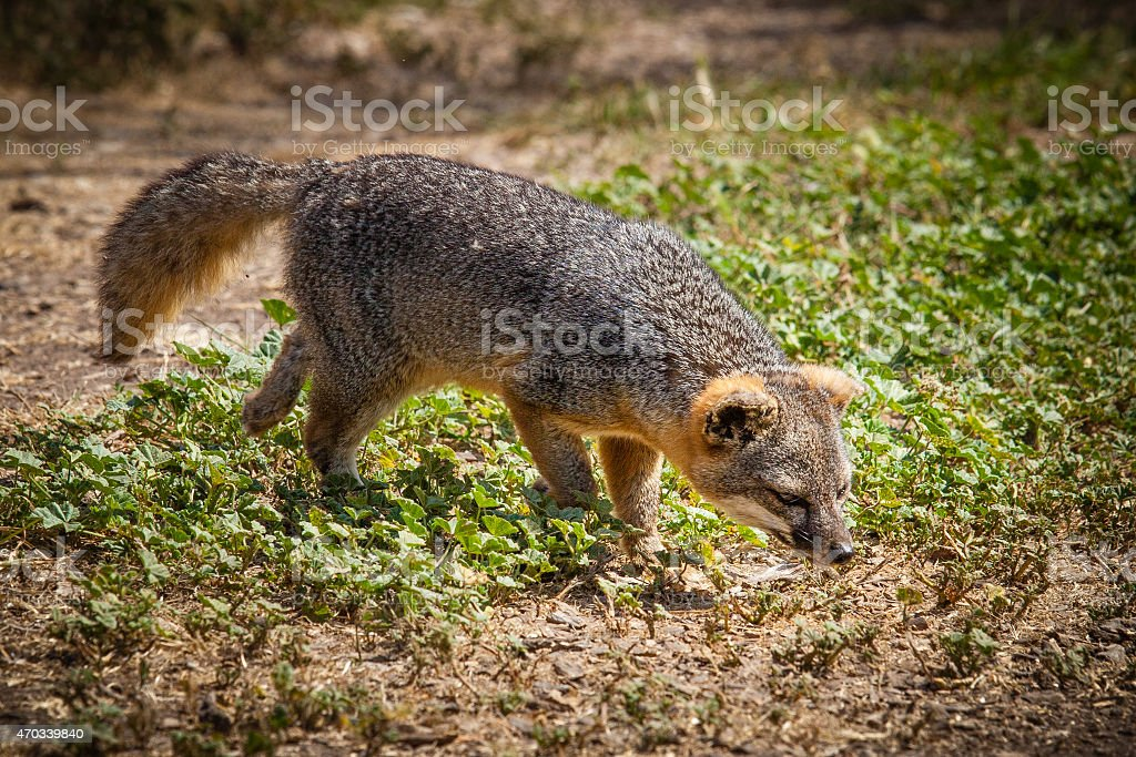 Santa Cruz Island fox (Urocyon littoralis santacruzae) sniffing stock photo