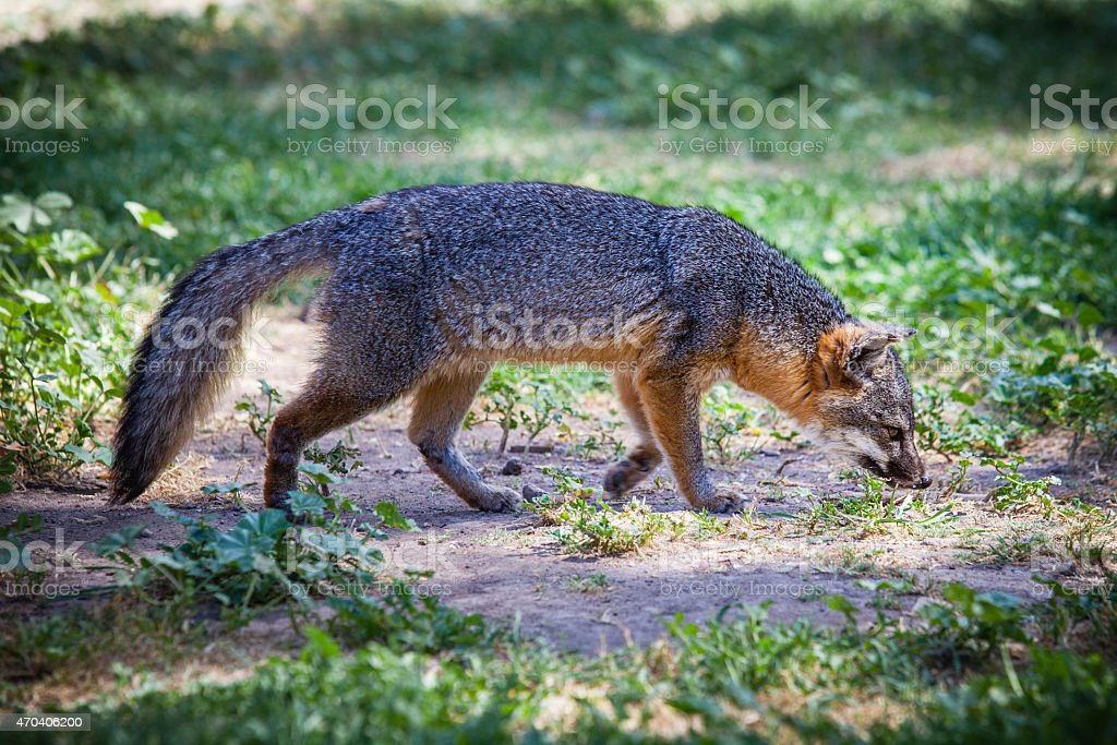 Santa Cruz Island fox (Urocyon littoralis santacruzae) sniffing royalty-free stock photo