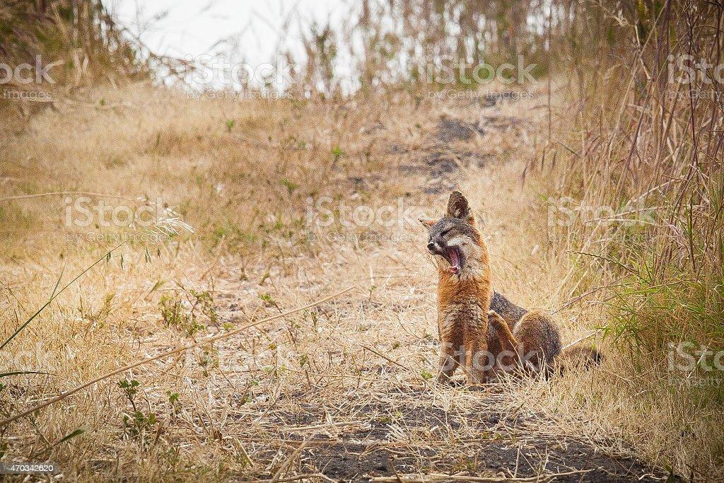 Santa Cruz Island fox (Urocyon littoralis santacruzae) yawning royalty-free stock photo
