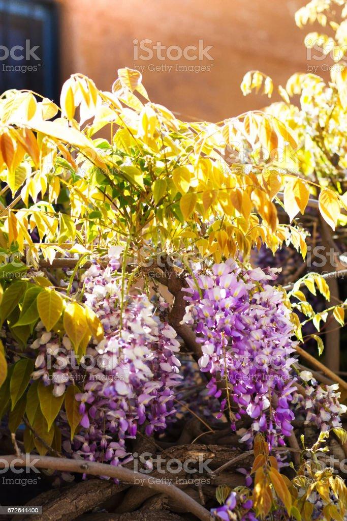 Santa Fe, NM: Purple Wisteria On Old Adobe Wall stock photo
