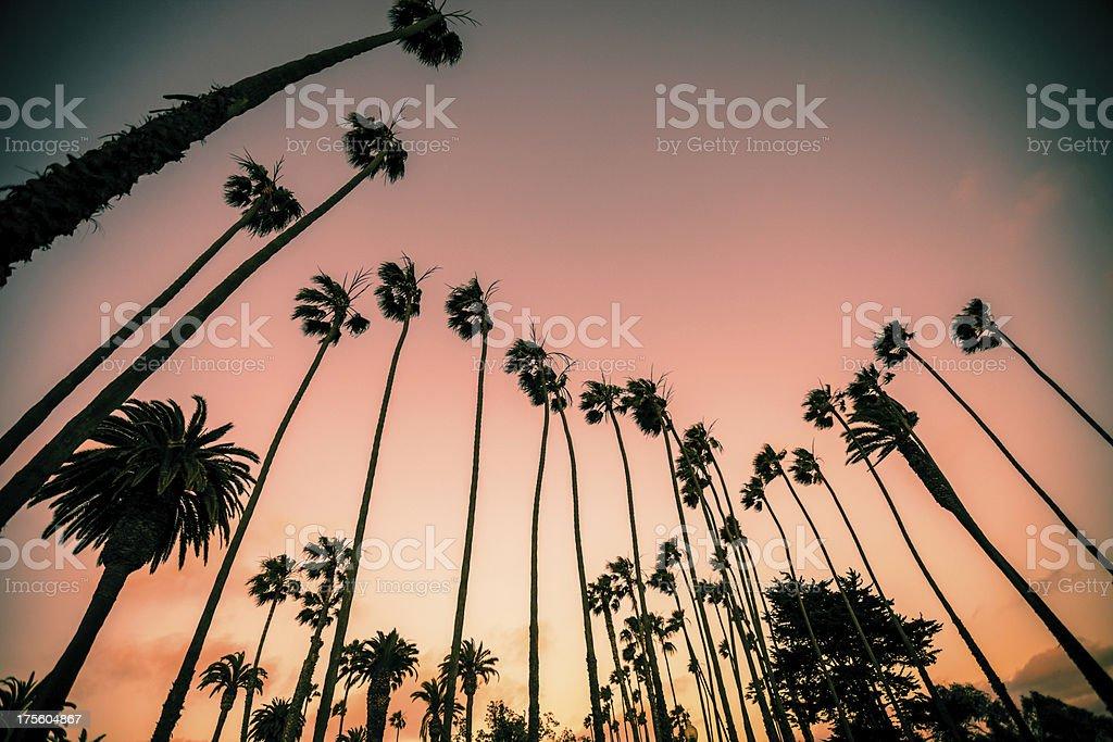 Santa Monica Palm Trees on sunset stock photo