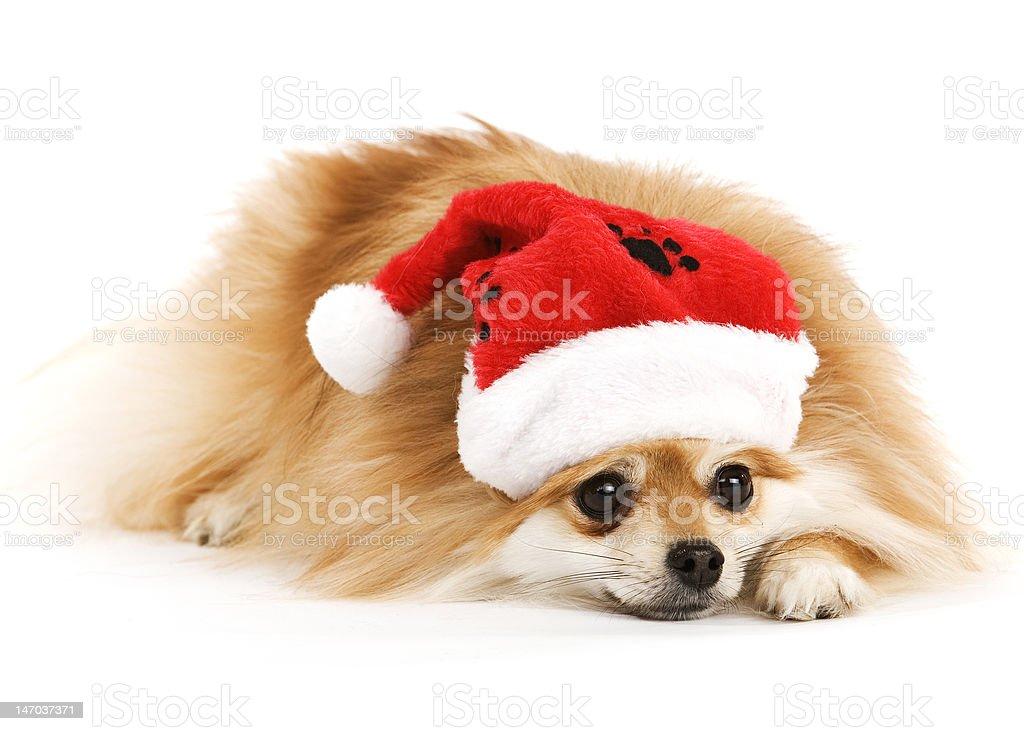 Santa Pup stock photo