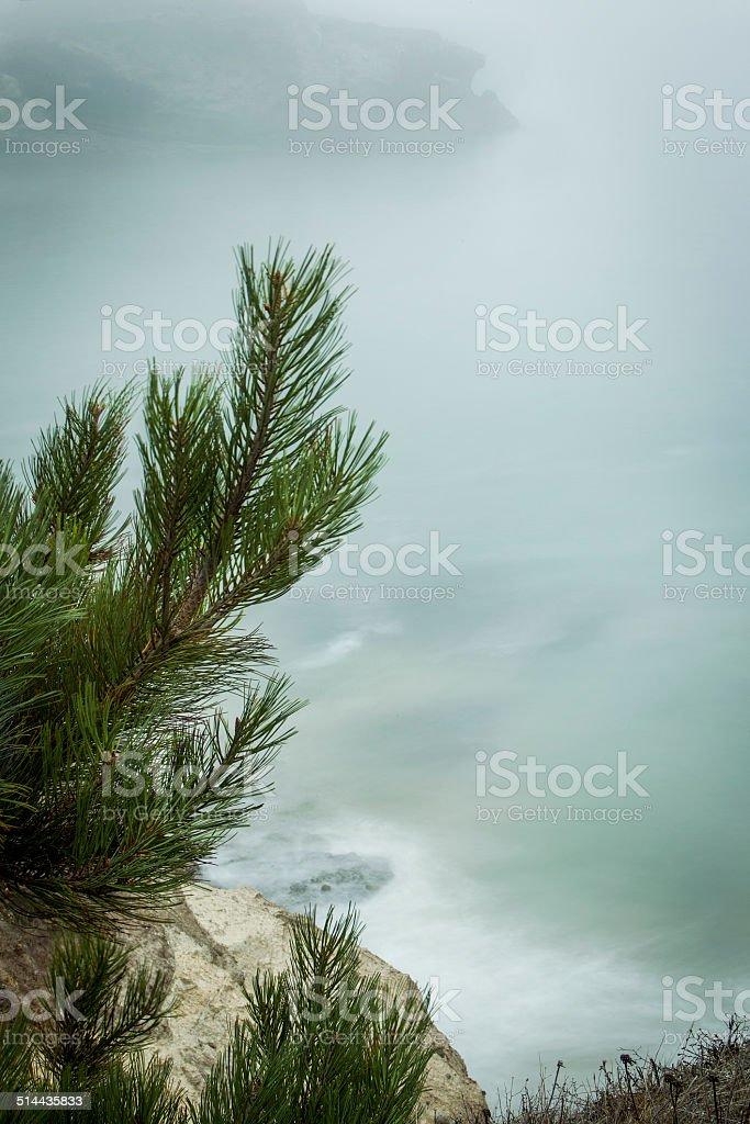 Santa Rosa Island Torrey Pine stock photo