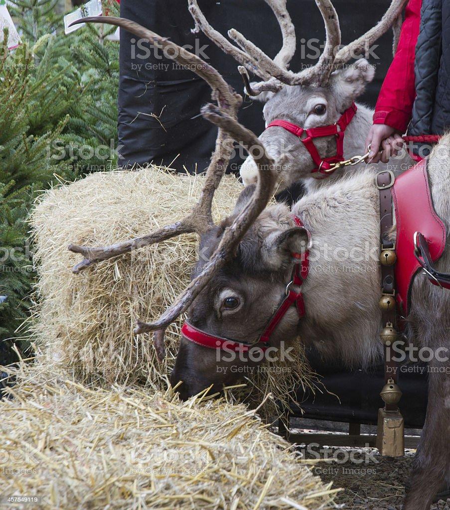 Santa's reindeer, jingle bells....... stock photo