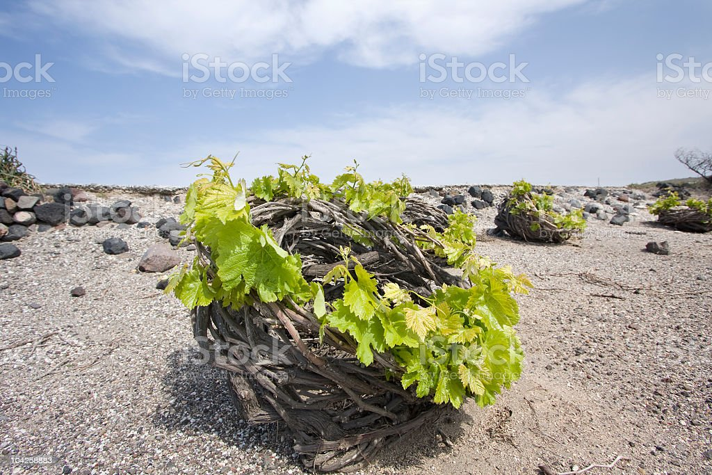 Santorini's vineyard stock photo
