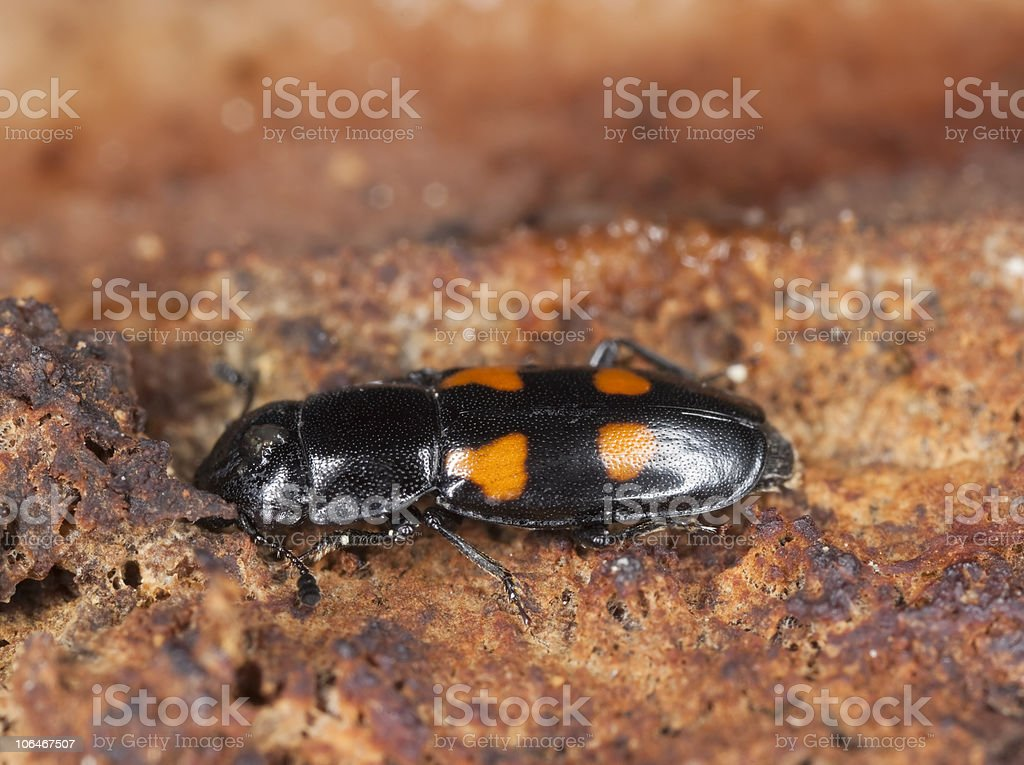 Sap beetle (Glischrochilus hortensis) Macro photo. stock photo