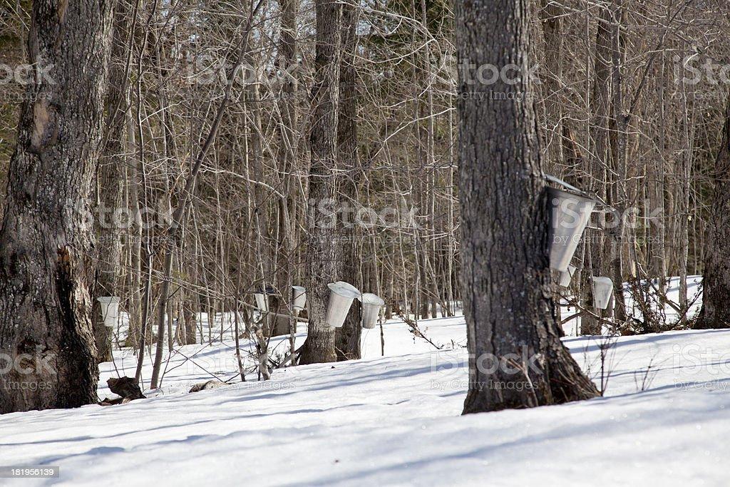 Sap Buckets in Maple Bush royalty-free stock photo