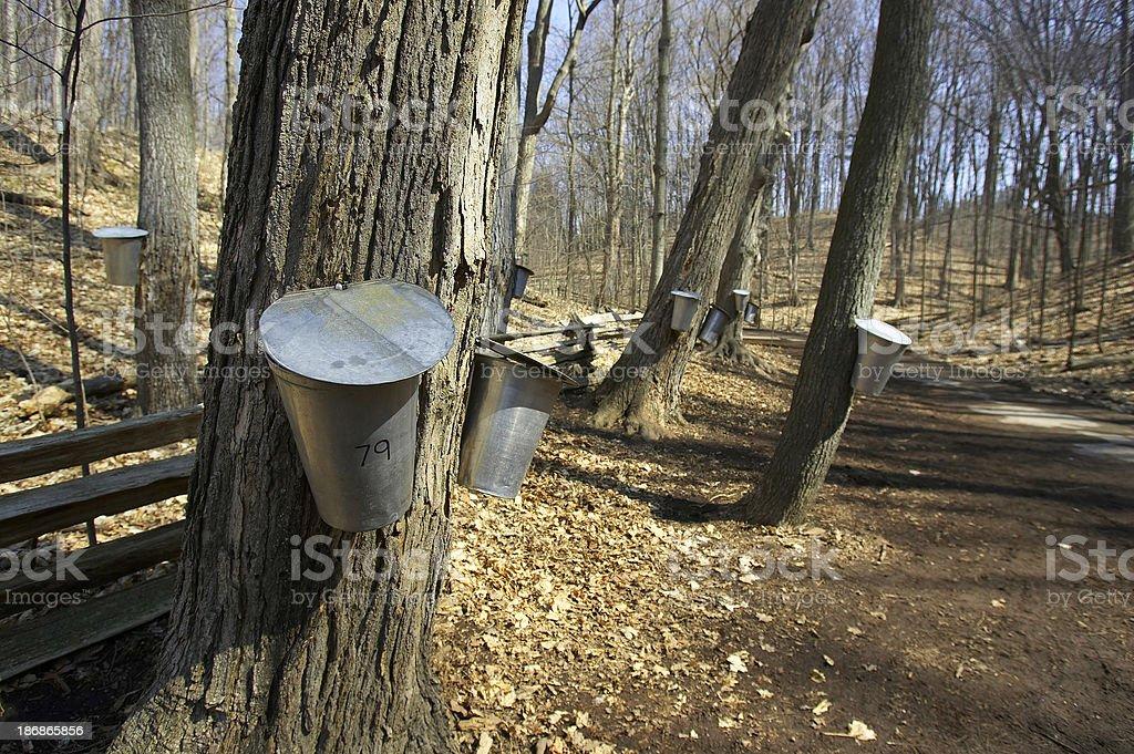 Sap Buckets on Maple stock photo