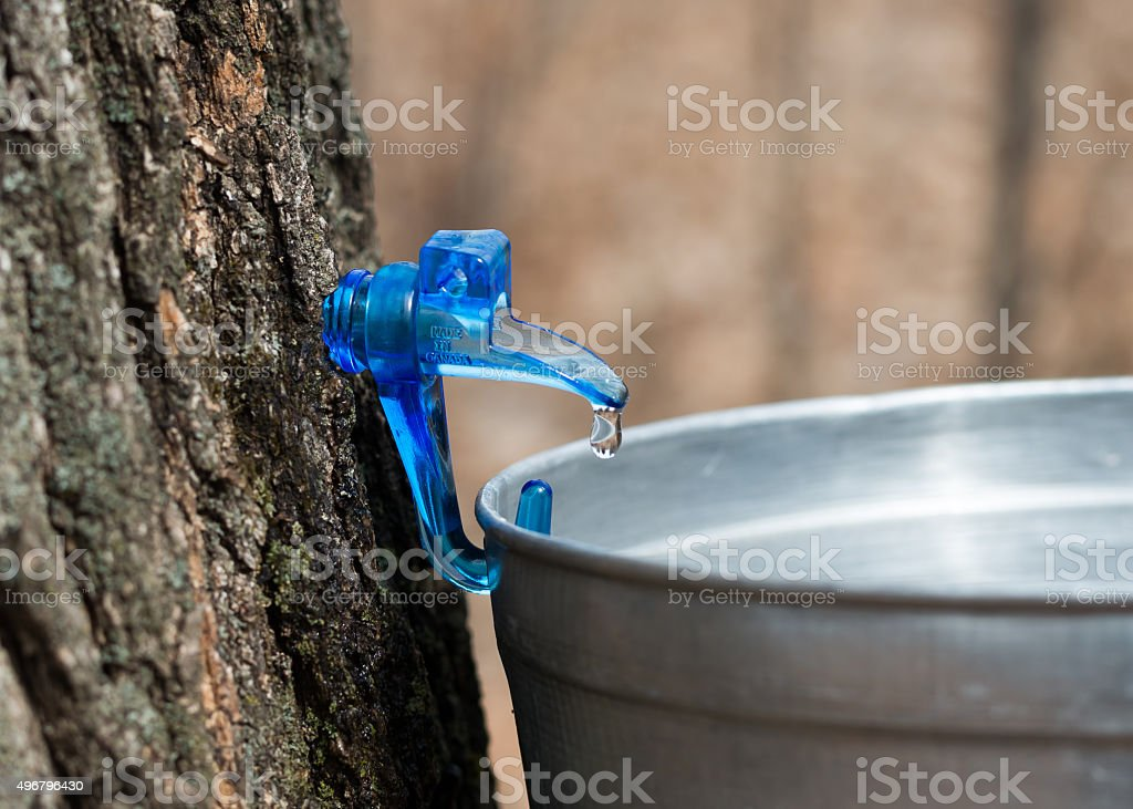 Sap collecting for maple syrup stock photo