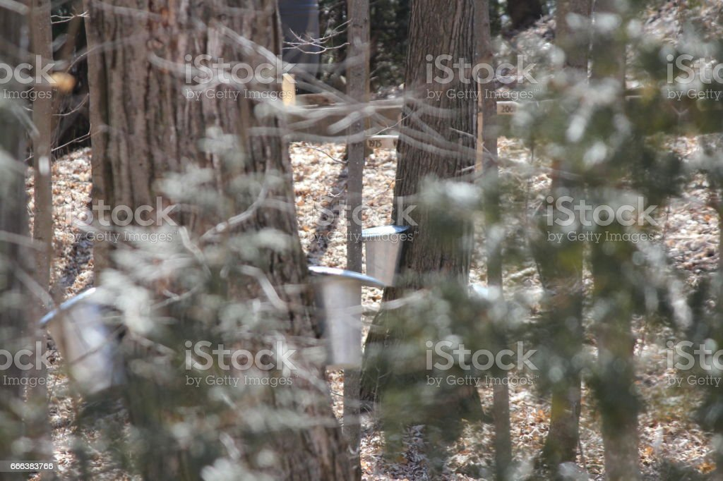 Sap Collection Pails on Tree stock photo