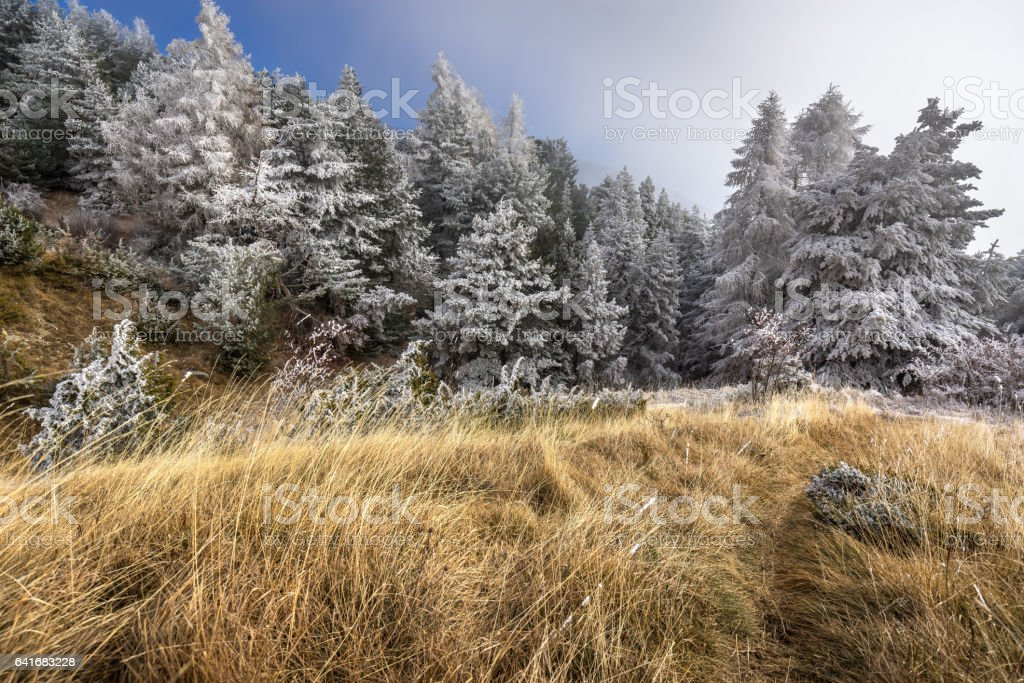 Sapet forest covered in frost, Moissiere Pass, Alps, France stock photo