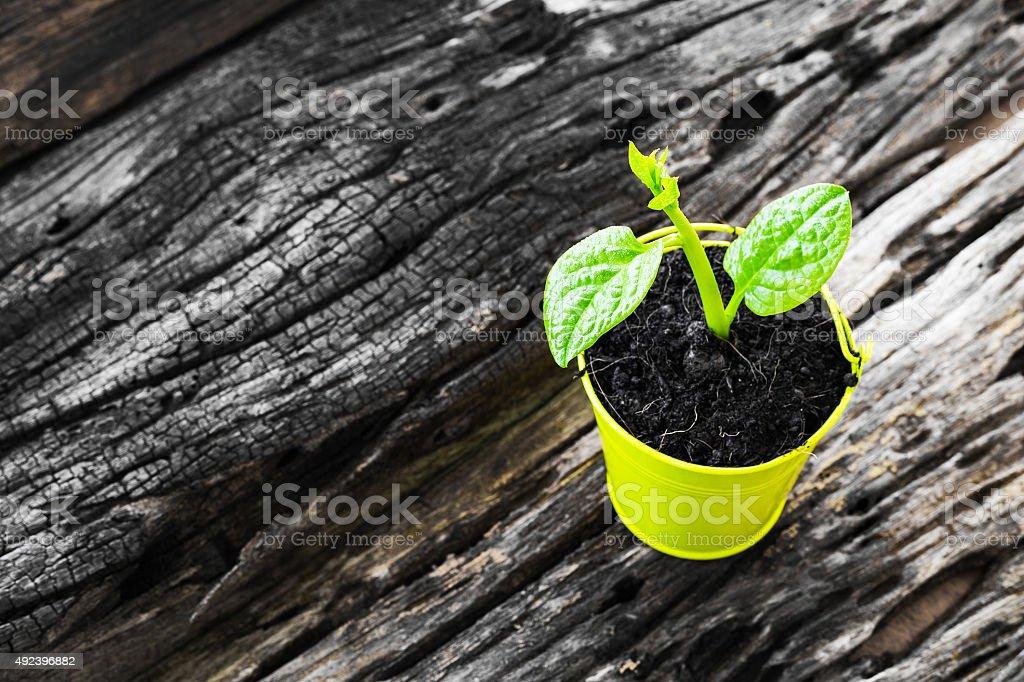 Sapling in a pot stock photo
