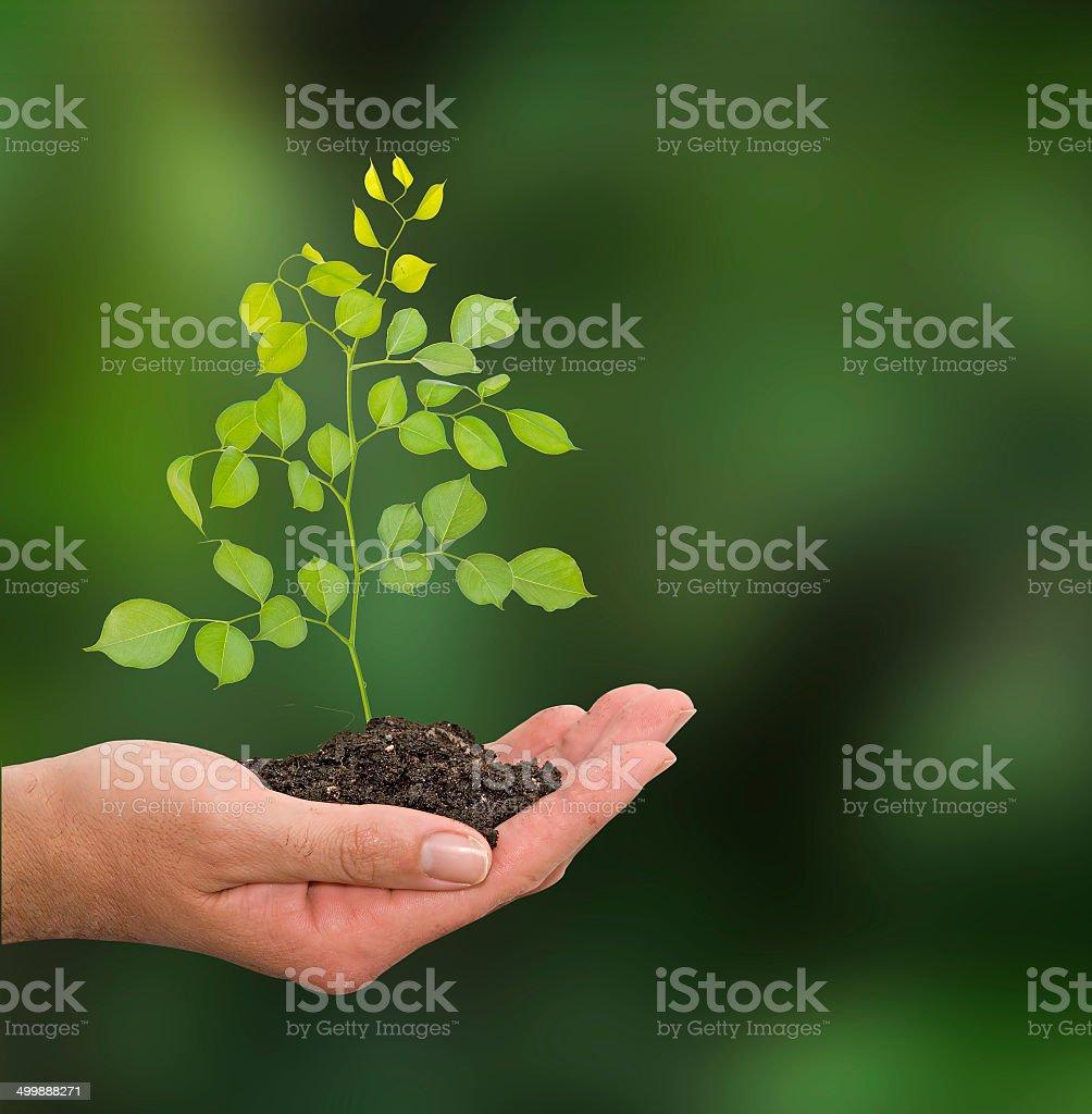 Sapling in hand stock photo