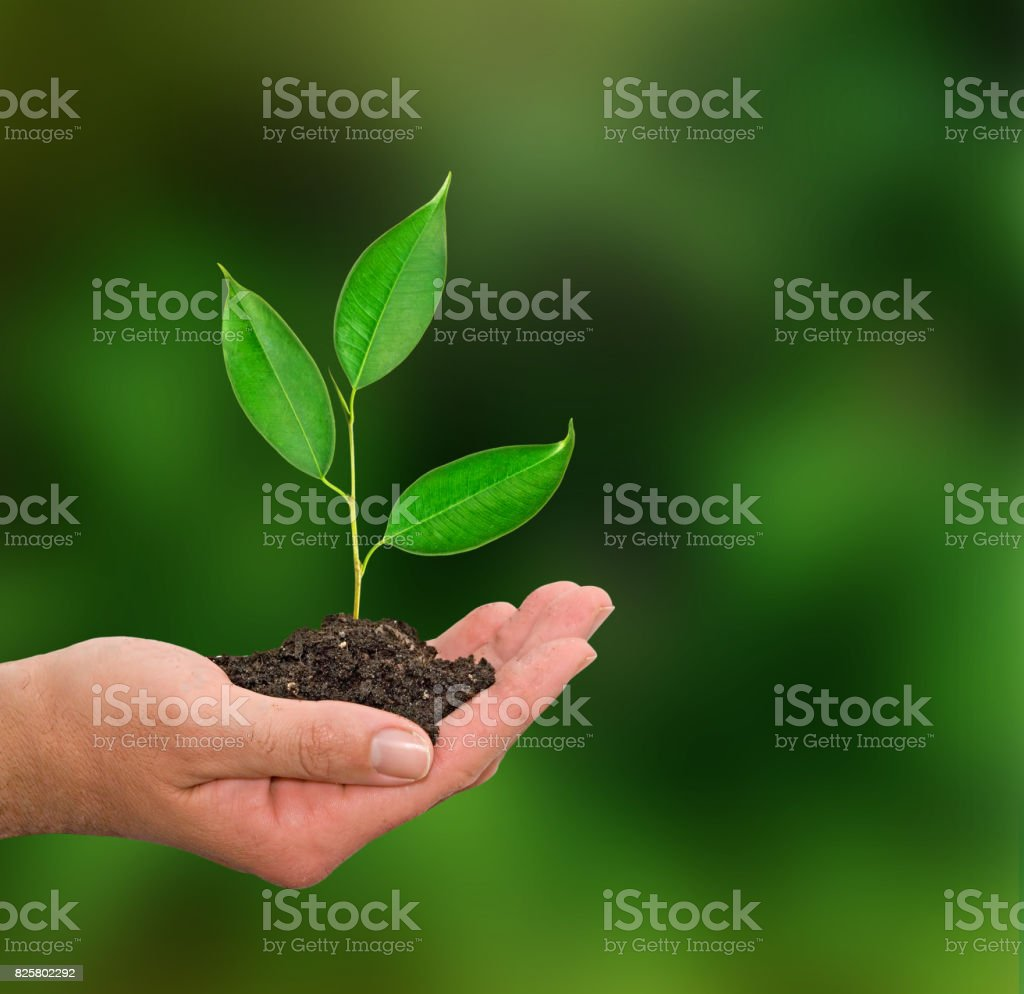 Sapling in hand stock photo