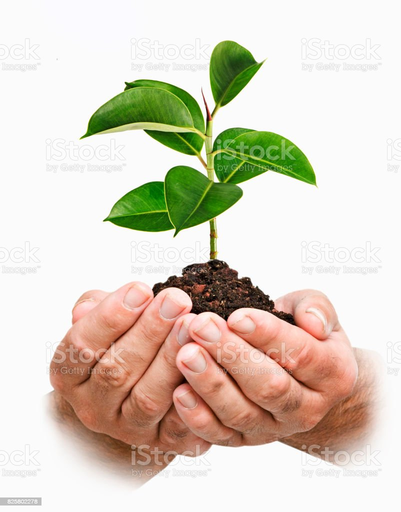 Sapling in hands stock photo