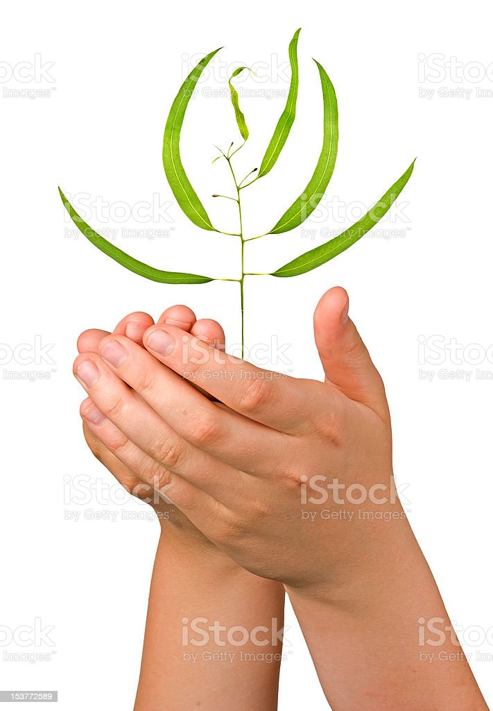 sapling in palms as a symbol of nature protection stock photo