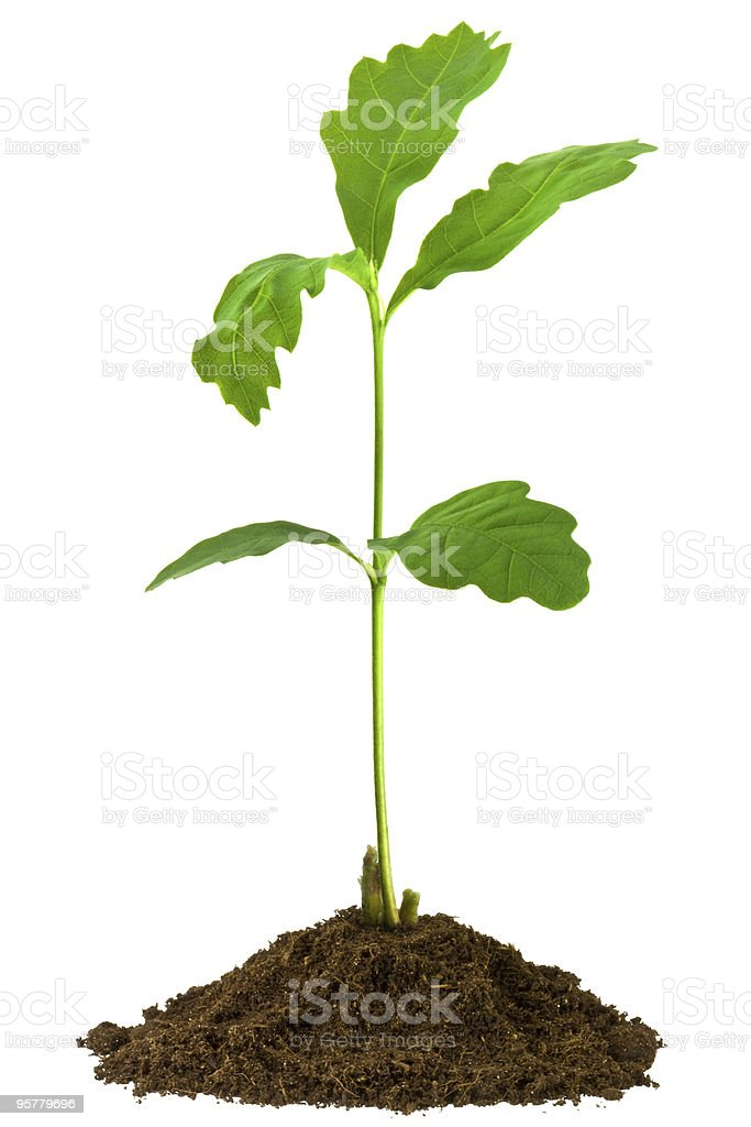 Sapling oak with 5 leafs on soil, isolated on white royalty-free stock photo