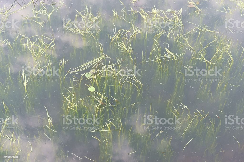Sapling of plants that are still under the water stock photo