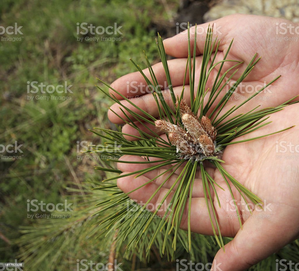 Sapling royalty-free stock photo
