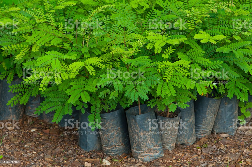 sapling plant in nursery stock photo