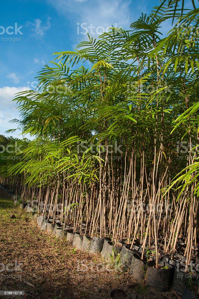sapling plant in nursery,Pakia Sumatrana stock photo