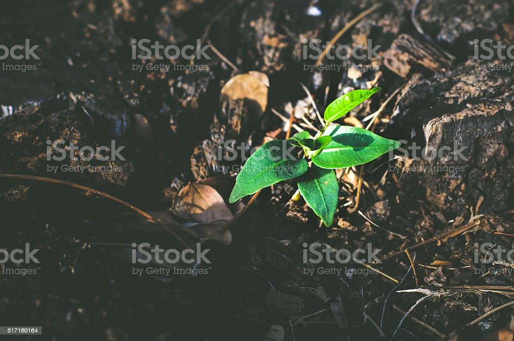Sapling that  up from a dead tree stump in sunlight stock photo