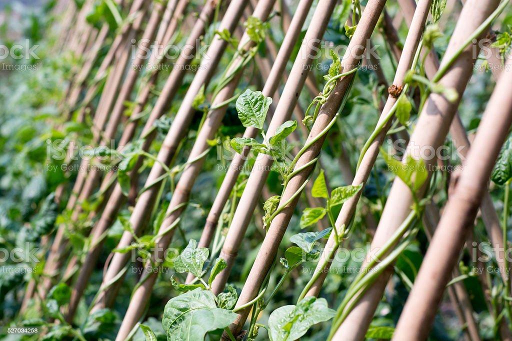 Sapling yard long Bean on stilts stock photo