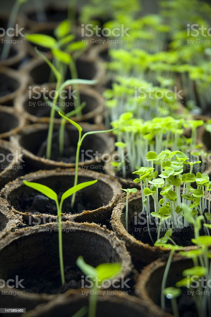 Saplings in pots royalty-free stock photo
