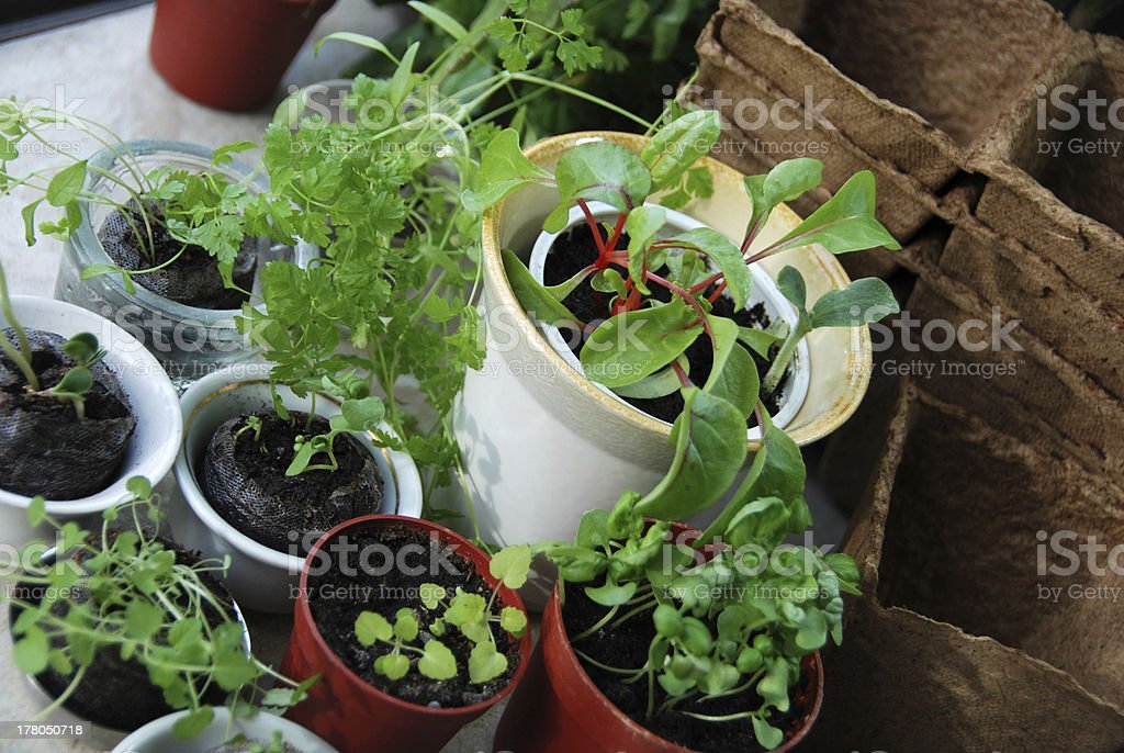 Saplings in small cups royalty-free stock photo