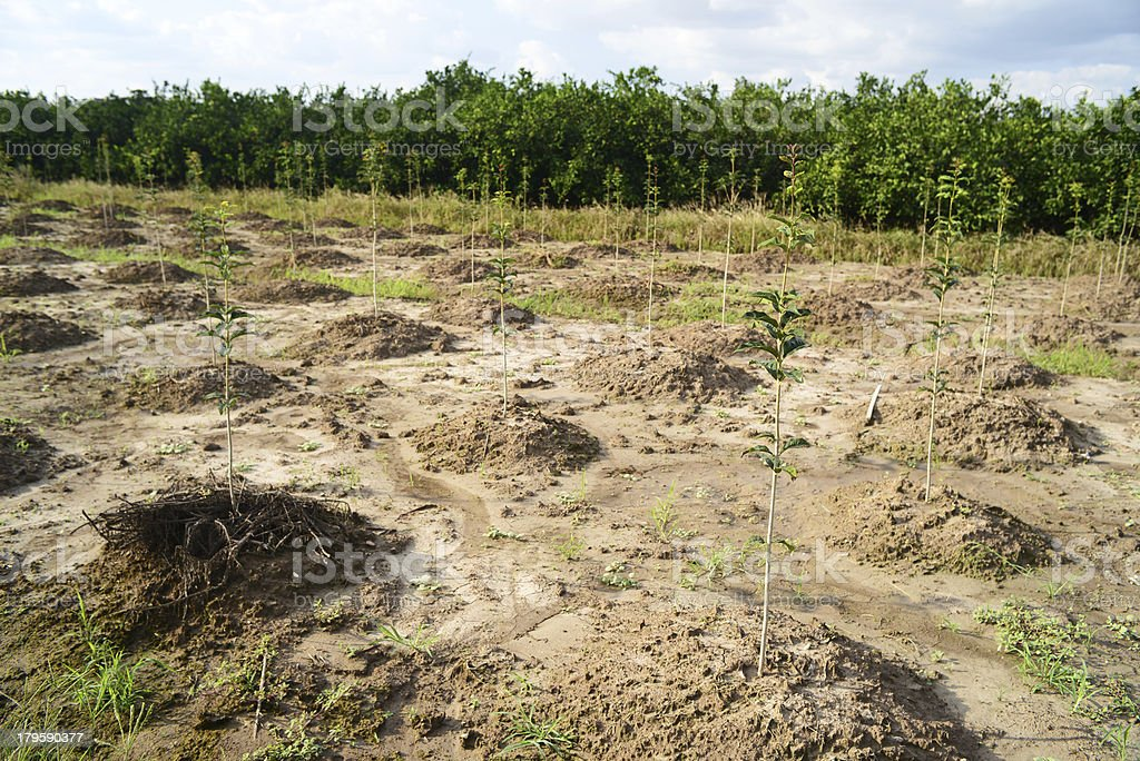 Saplings Small Trees for Sale in Garden royalty-free stock photo