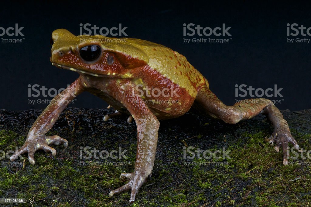 Sapo dorado / Bufo guttatus stock photo