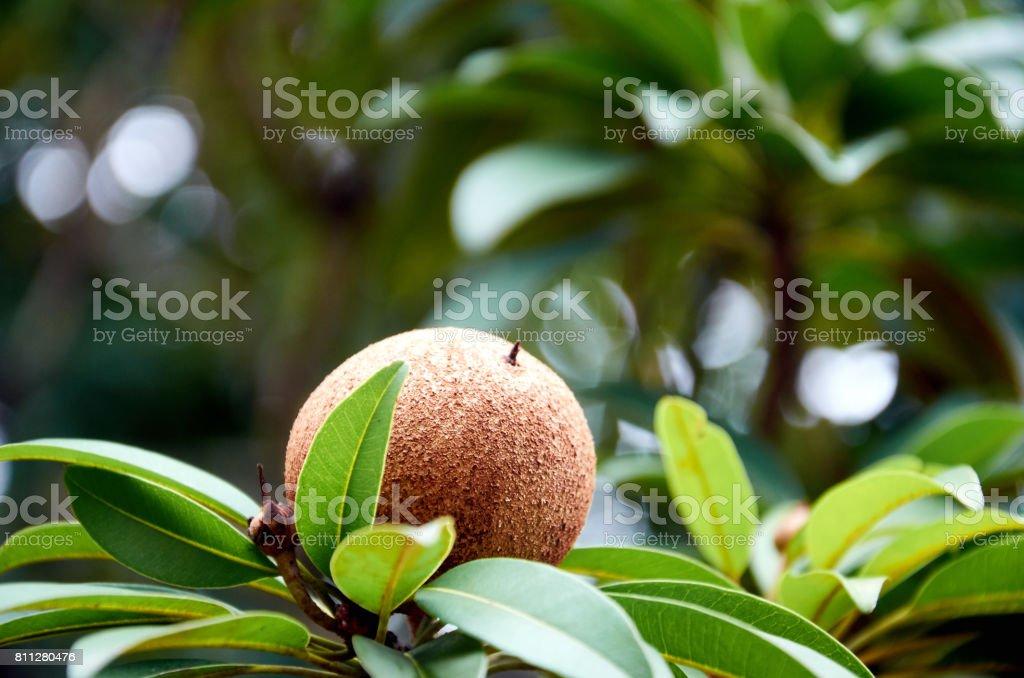 Sapodilla fruit ona branch stock photo