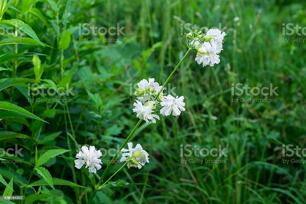 Saponaria officinalis branch with flowers in the natural environ stock photo
