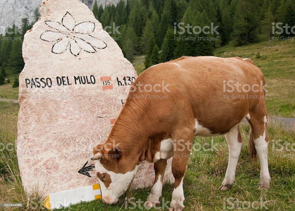 Sappada, Dolomiti. A cow to the pass of the Mule stock photo