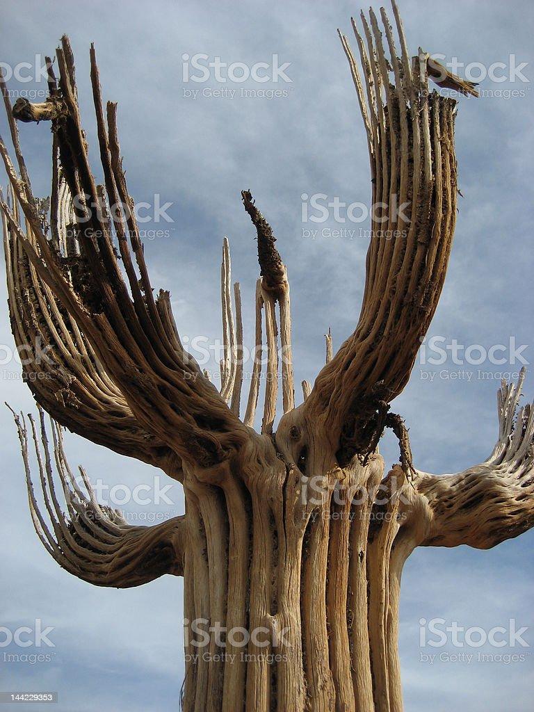 Saquaro cactus skeleton stock photo