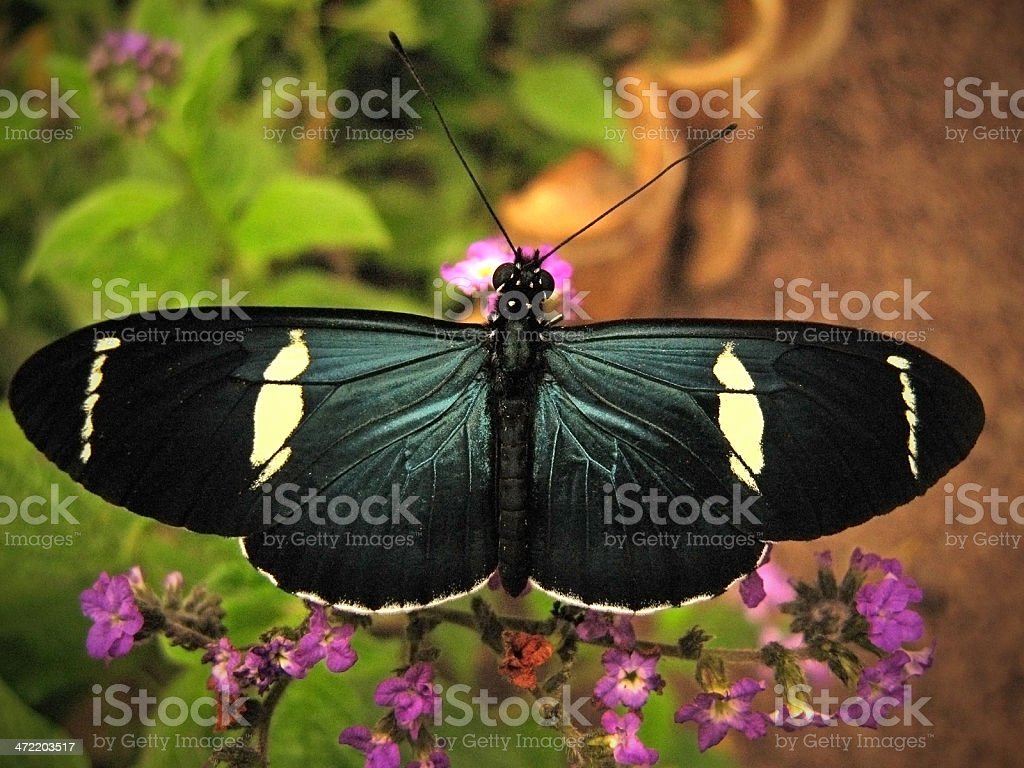 Sara longwing butterfly  Heliconius sara stock photo